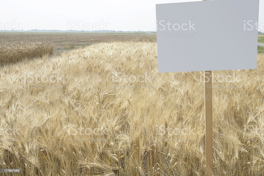 Cultivation of wheat stock photo
