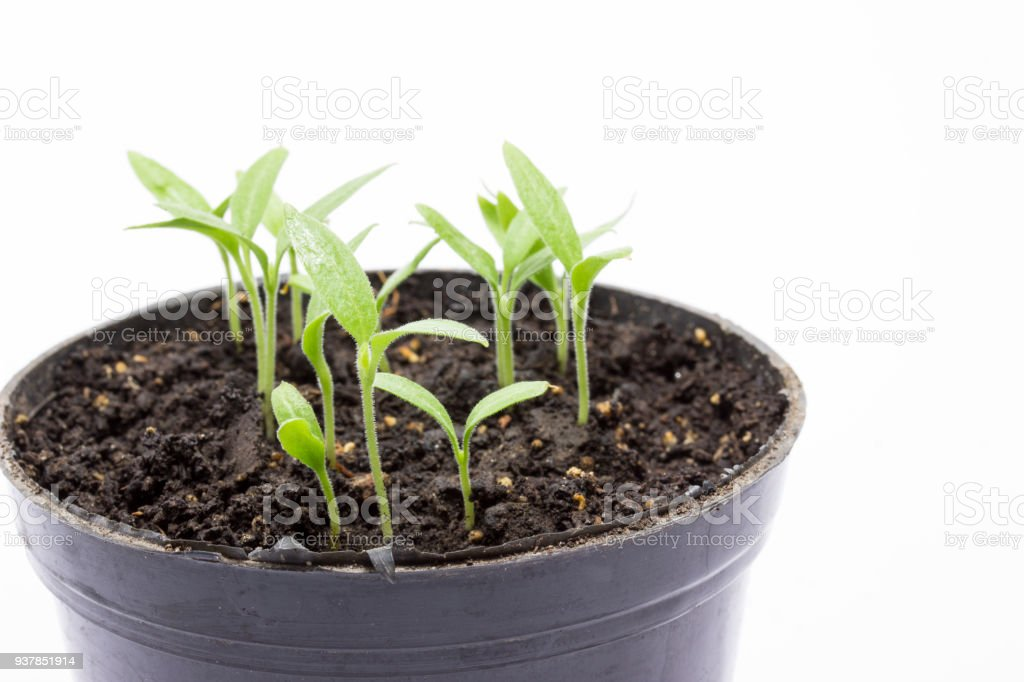cultivation of young eggplant sprouts in a pot on a gray background stock photo
