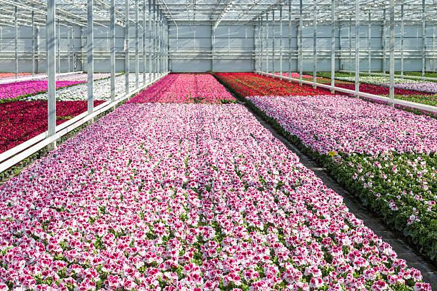 anbau weiß und lila geraniums in einem niederländischen greenhouse - lila, grün, schlafzimmer stock-fotos und bilder