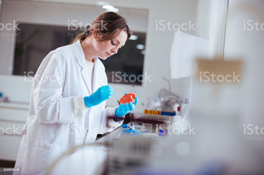 cultivation with inoculation loop of a petri dish by scientist in the laboratory stock photo