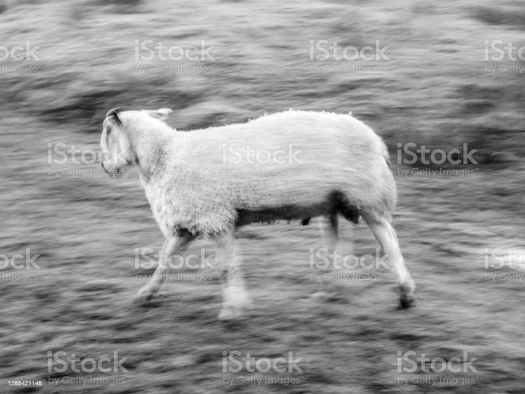 Cumbrian sheep on a farm Cumbrian sheep farm in winter with an overcast wintry sky. 2020 Stock Photo