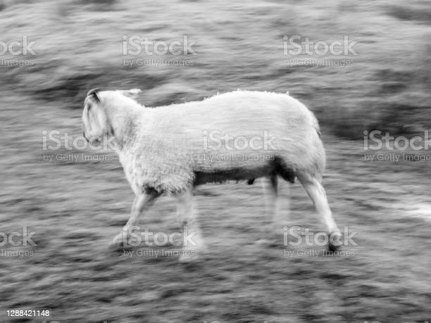 Cumbrian Sheep On A Farm Stock Photo - Download Image Now