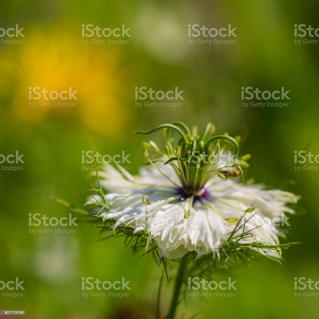 cumin flower black on a blurred green background. stock photo
