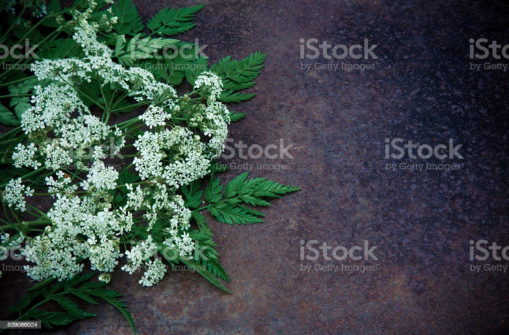 Cumin flowers on a dark grunge background stock photo