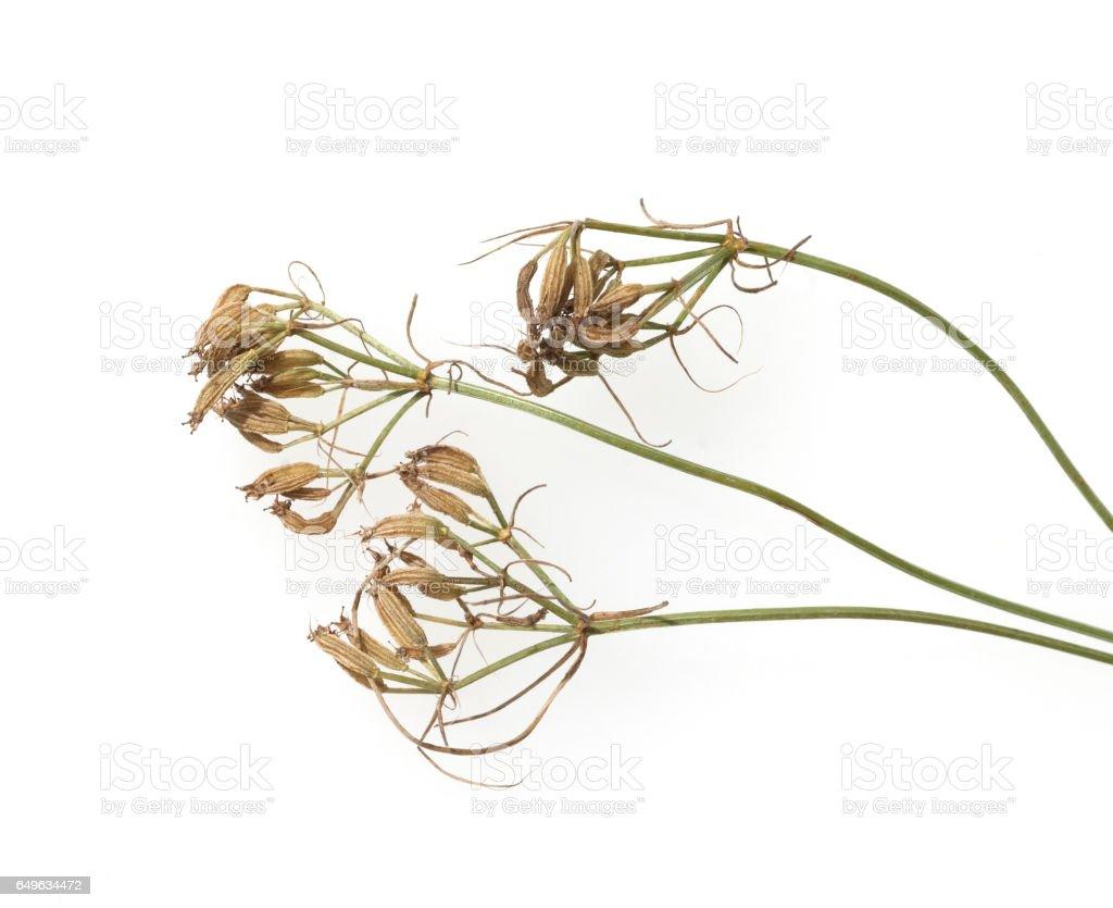 Cuminum, cyminum, Seeds stock photo