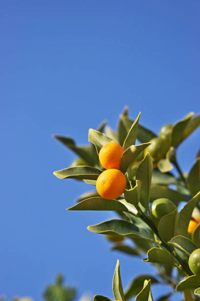 Kumquat – Foto