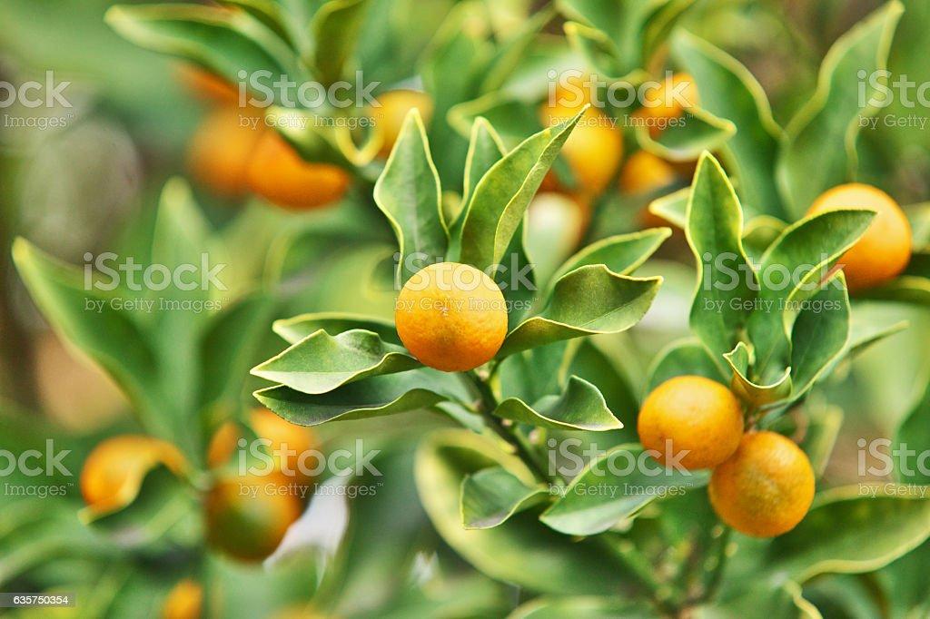 cumquat stock photo