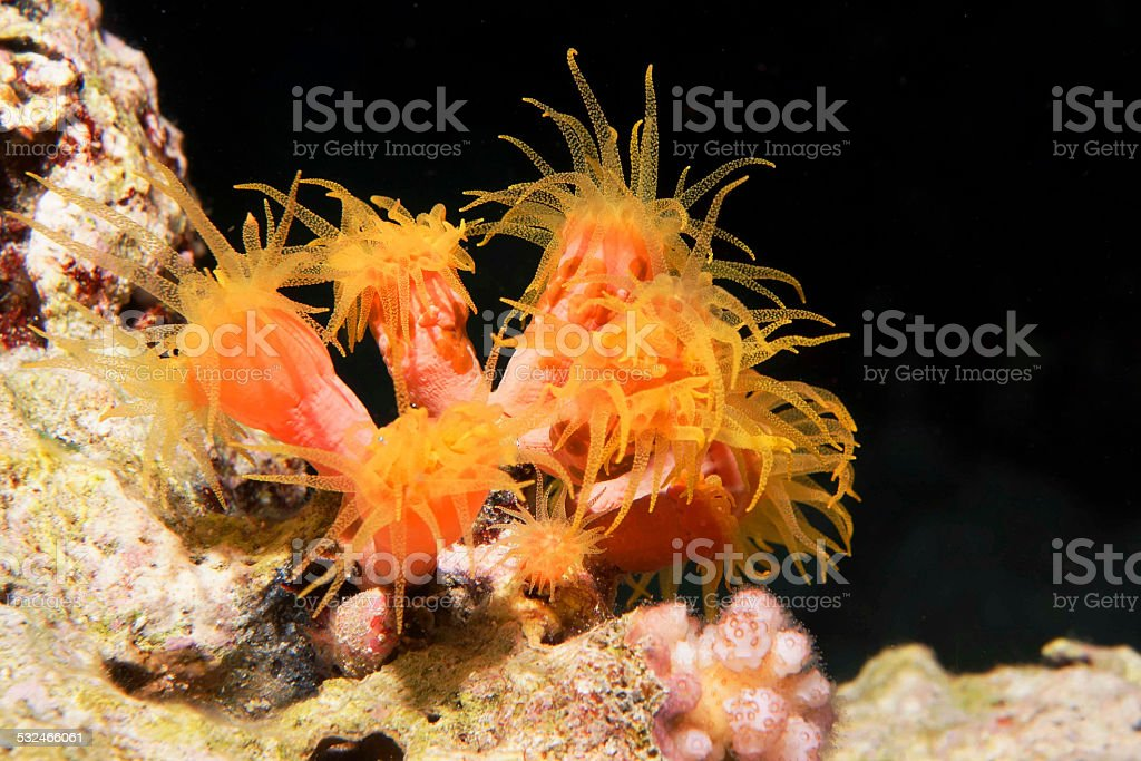 Cup Corals at night stock photo