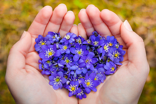 Cupped hands holding spring violet flowers in heart shape