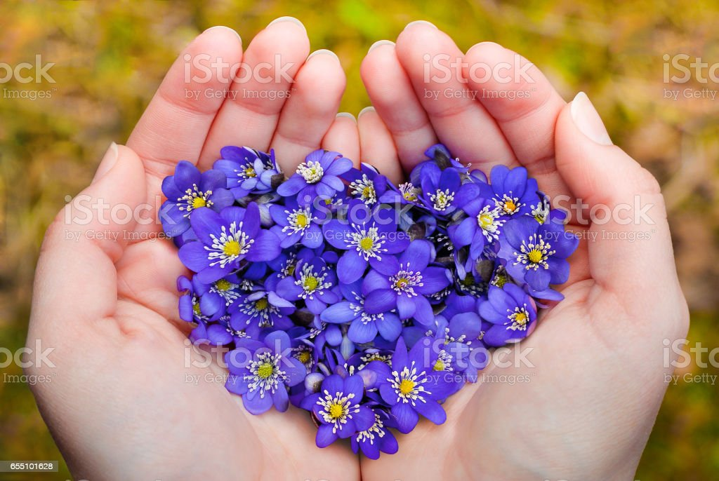 Cupped hands holding spring violet flowers in heart shape stock photo