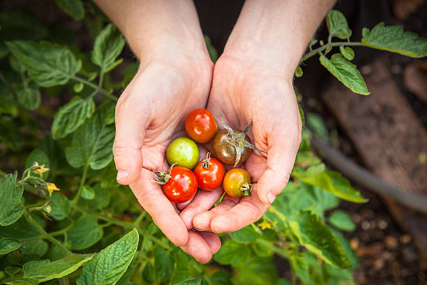 Cupping Cherry Tomatoes Picked From The Garden A woman holding a variety of cherry tomatoes grown in a community garden. community garden stock pictures, royalty-free photos & images