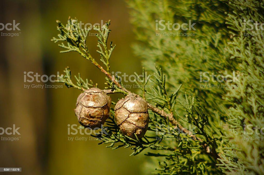 Cupressus sempervirens cones stock photo