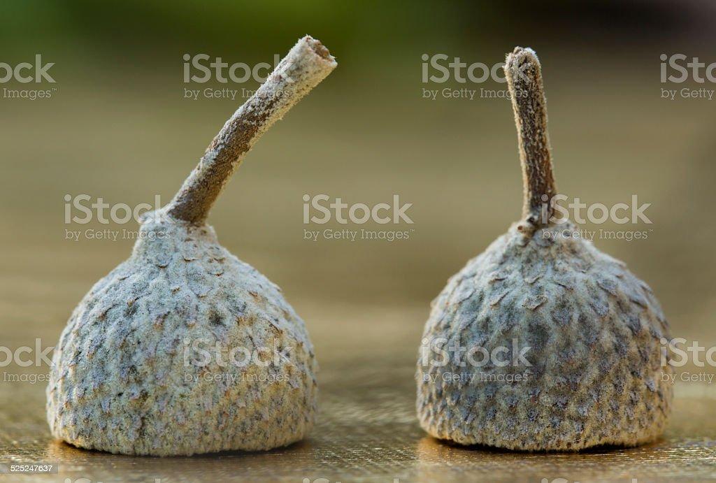 Cupules de glands stock photo