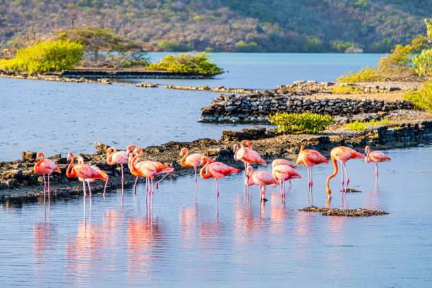Curaçao, flamingos in Salina Sint Marie lagoon stock photo