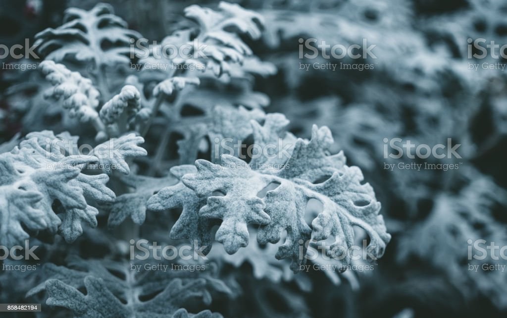 Curative leaves of wormwood. Raw materials for alternative medicine stock photo