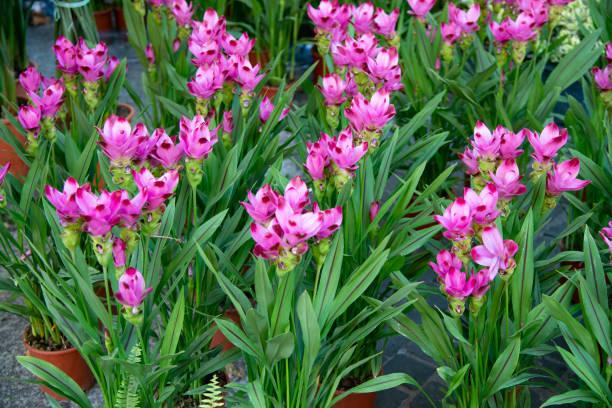 Curcuma alismatifolia, also called Saffron of the Indies, is a plant of the Zingiberaceae family, stock photo