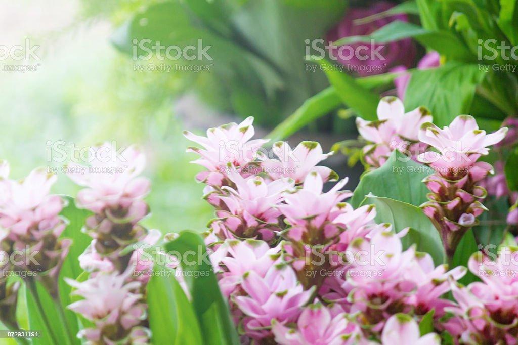 Curcuma Zanthorrhiza (Siam Tulip Curcuma Alismatifolia) Flower In The Nature With Soft Light. stock photo