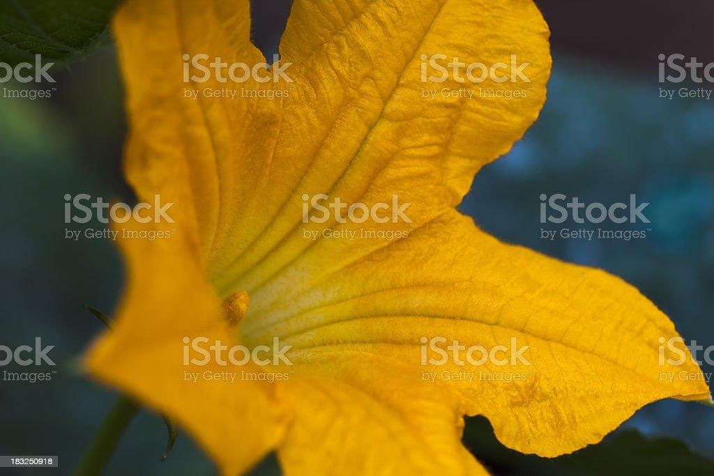 Curcurbit flower close-up royalty-free stock photo