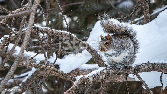 istock Écureuil gris, (Sciurus carolinensis), Eastern gray squirrel in winter. 1302341149