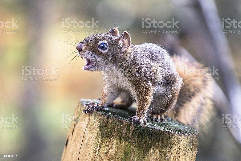 écureuil - foto de stock