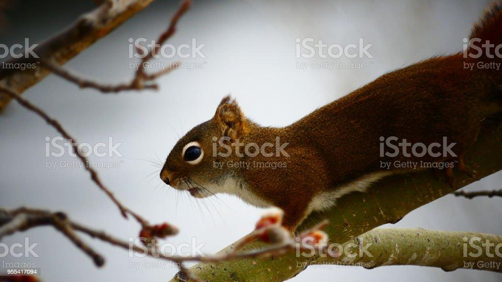 Écureuil roux du Canada dans un arbre - Zbiór zdjęć royalty-free (Ameryka Północna)