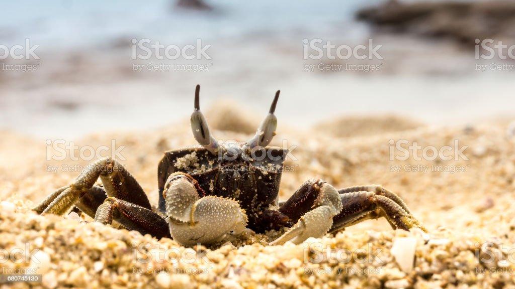 Curios beach crab stock photo