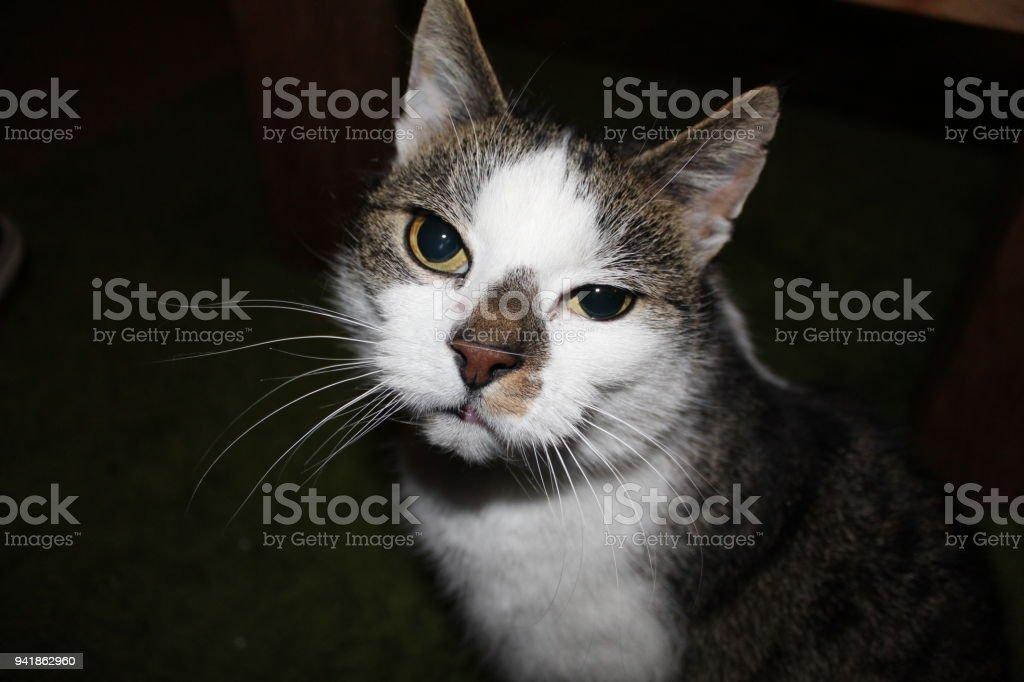 Curios Brown, White Cat stock photo