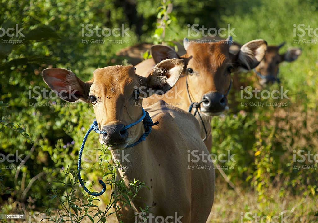 Curios cow royalty-free stock photo