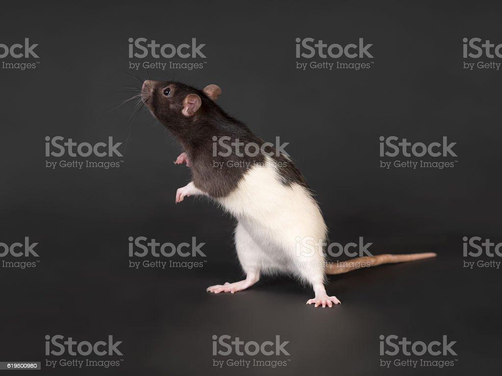 curios domestic rat stock photo