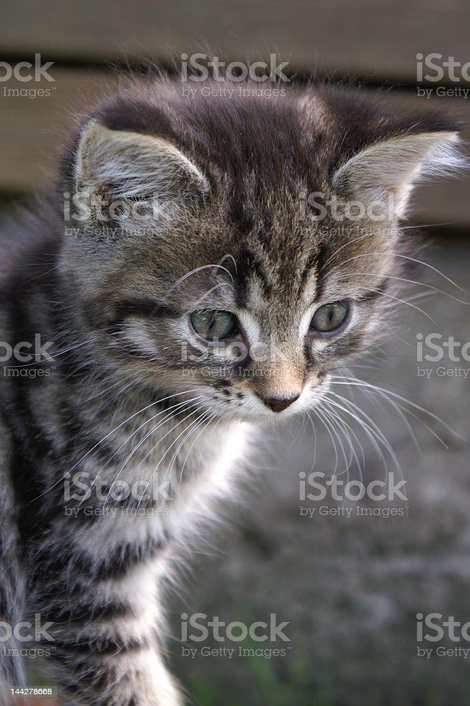 curios kitten royalty-free stock photo