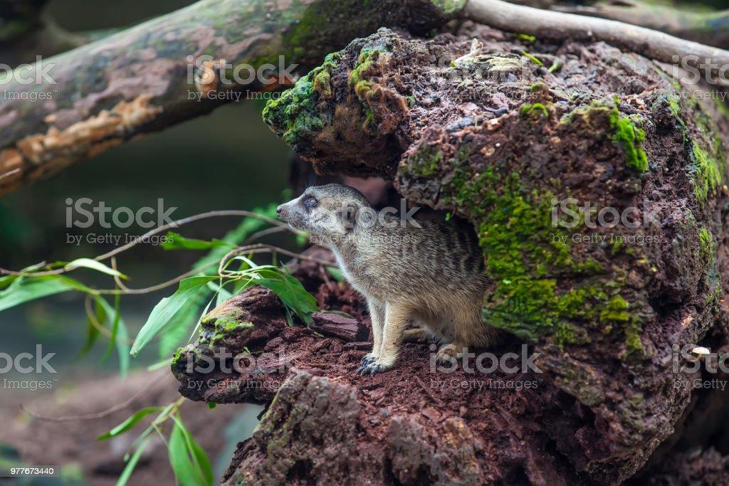 Curios meerkat (suricate) in the hollow of wood stock photo