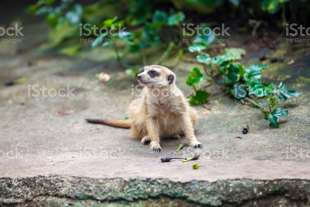 Curios meerkat (suricate) sitting on the stone stock photo