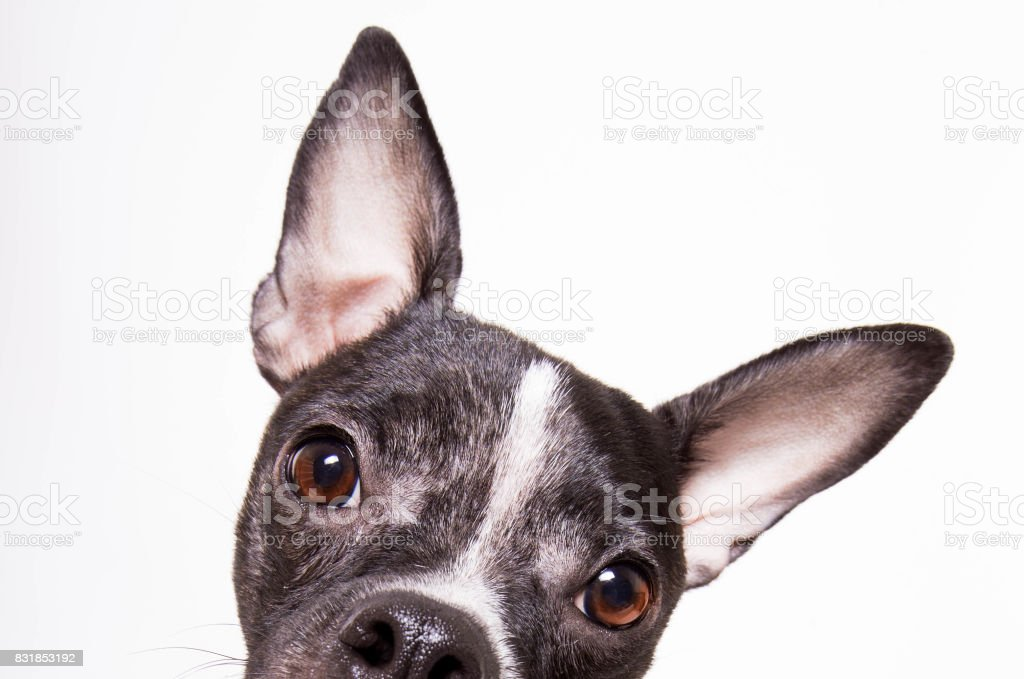 Curios Pup stock photo