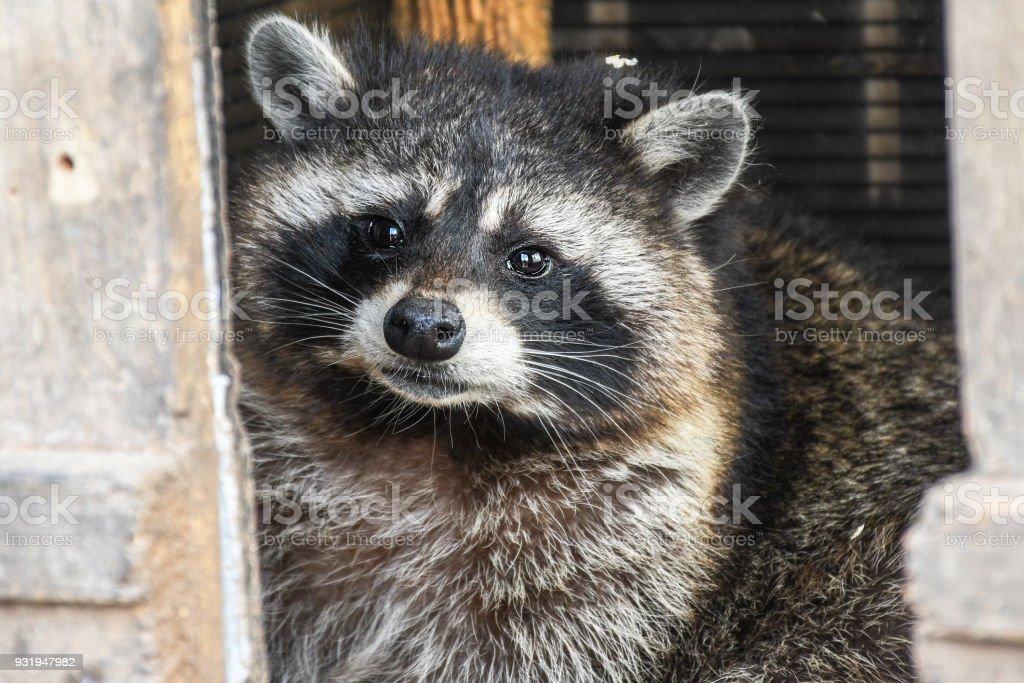 Curios raccoon looking around the house food stock photo