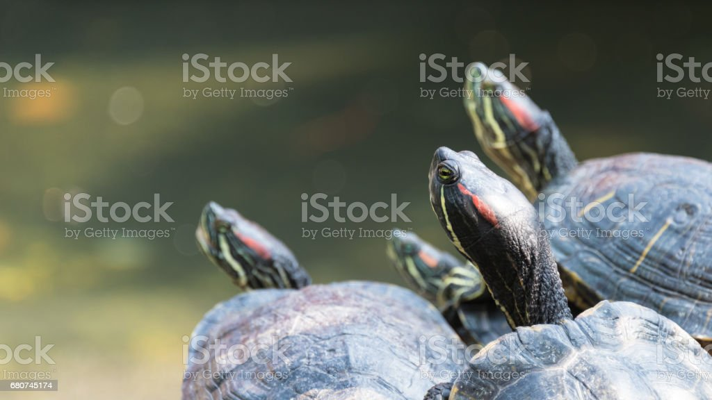 Curios turtles looking to the left stock photo