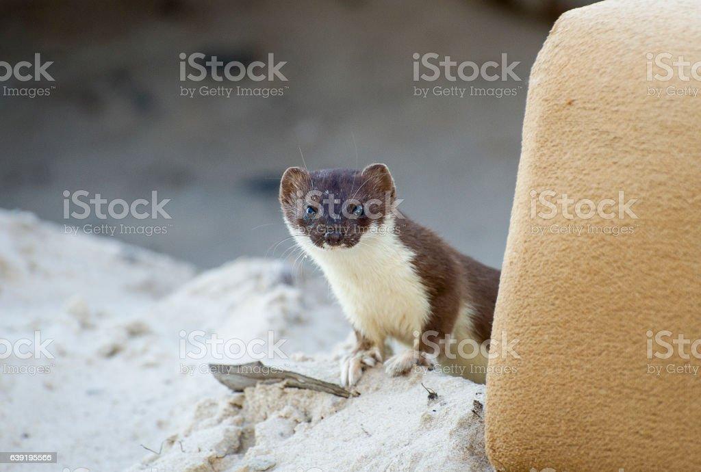 Curios weasel stock photo