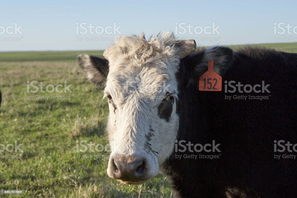 Curios white faced cow looking at camera stock photo