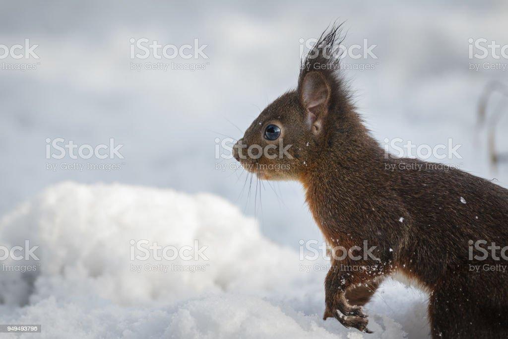 Curios winter squirrel stock photo