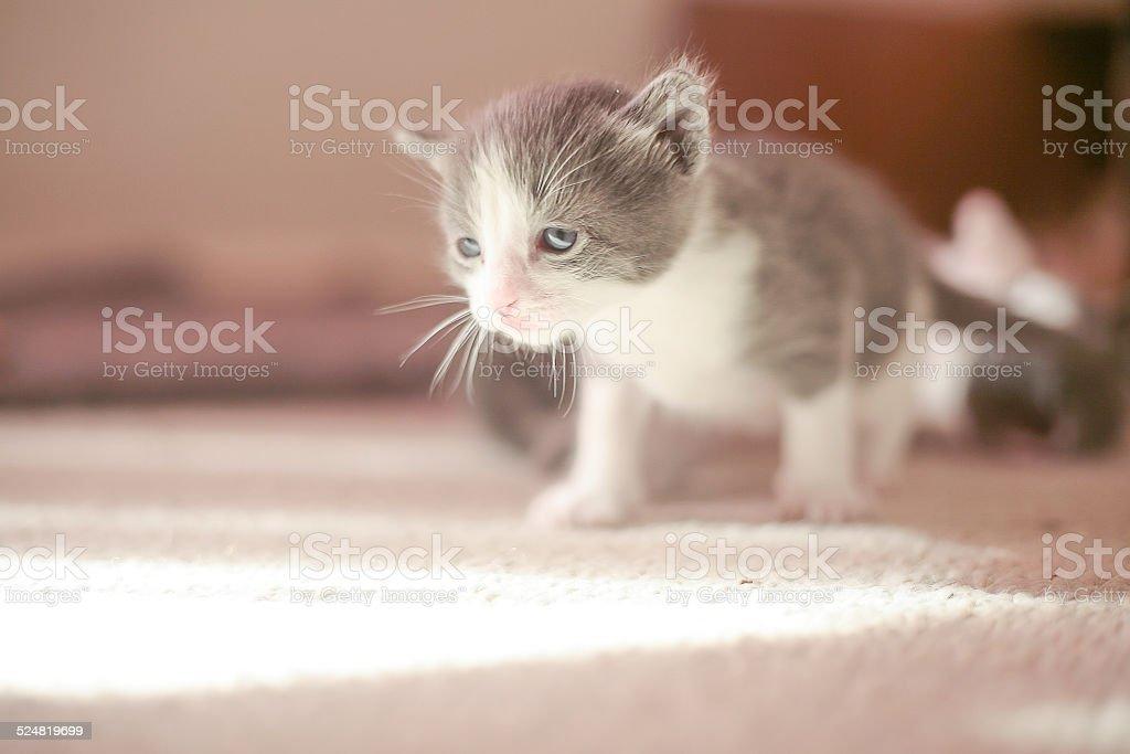 Curiosity of the kitten stock photo