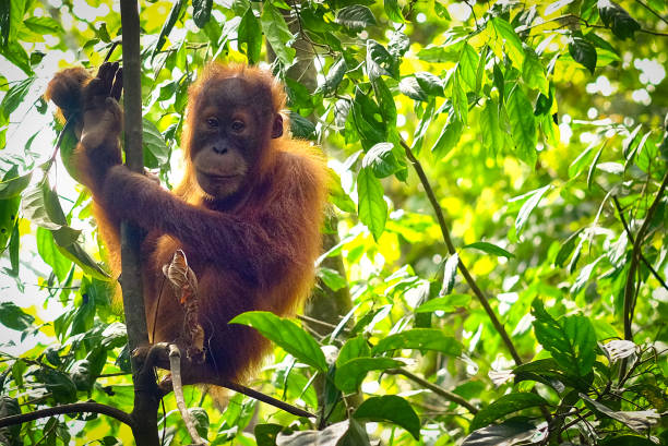 Curiosity Wild baby orangutan goes away from his mom to look at us orangutan stock pictures, royalty-free photos & images