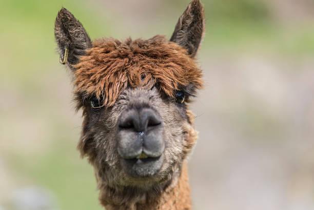 Curious alpaca stock photo