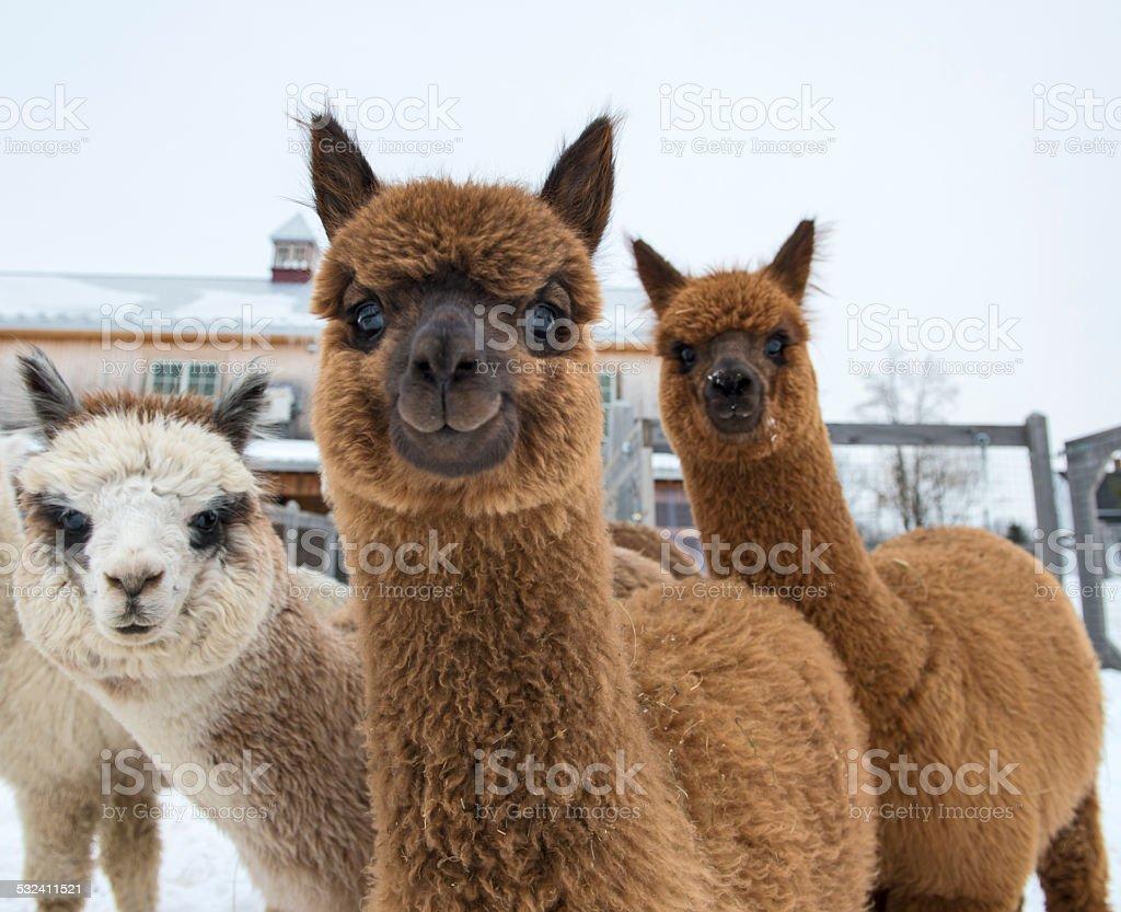 Curious alpacas looking at camera stock photo