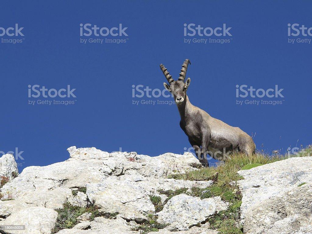 Curious alpine ibex royalty-free stock photo