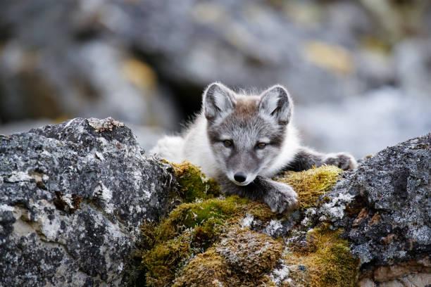 curious arctic fox cub taking a rest after playing - raposa ártica imagens e fotografias de stock