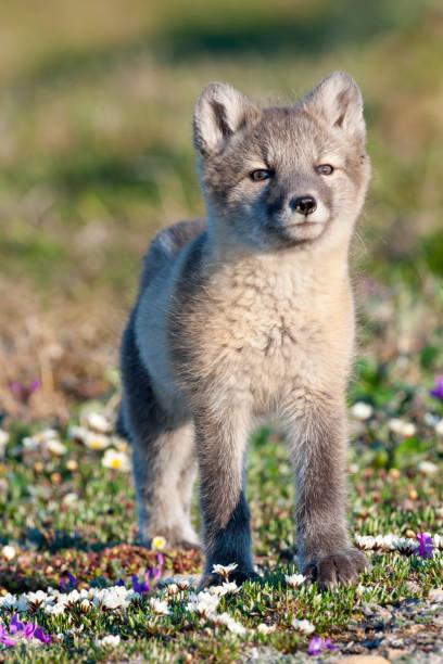 curious arctic fox kit and tundra wildflowers - raposa ártica imagens e fotografias de stock