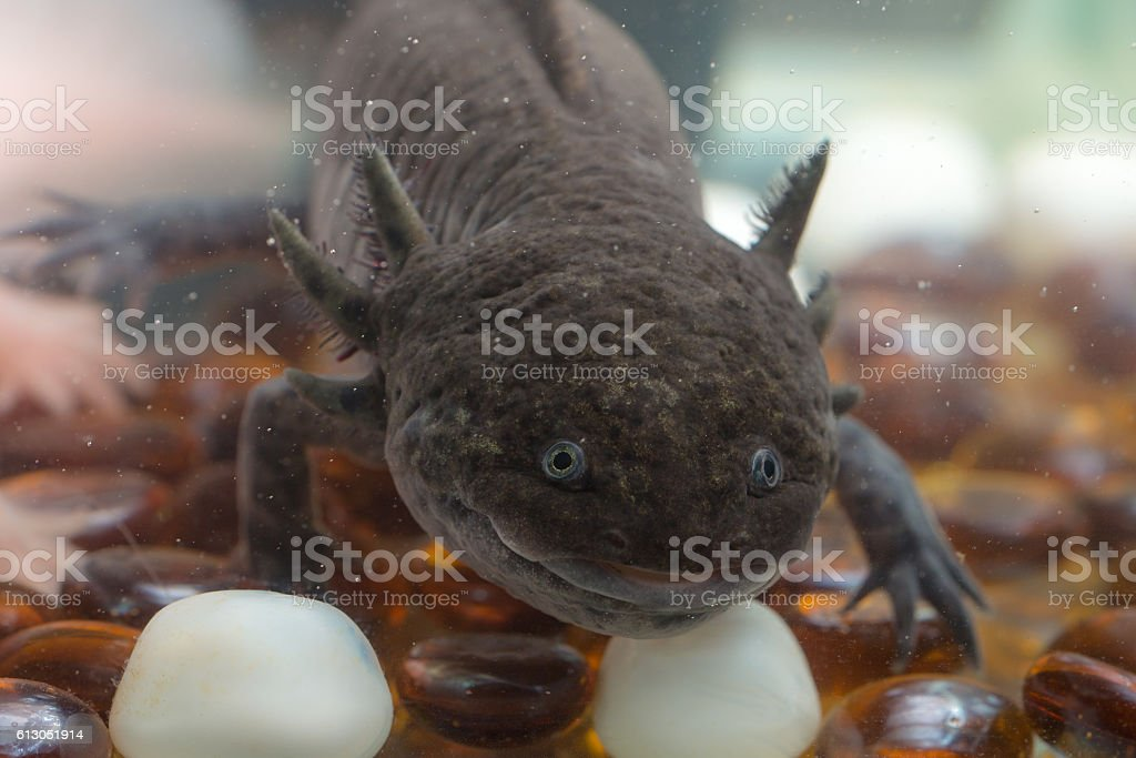 curious axolotl closeup - foto de stock