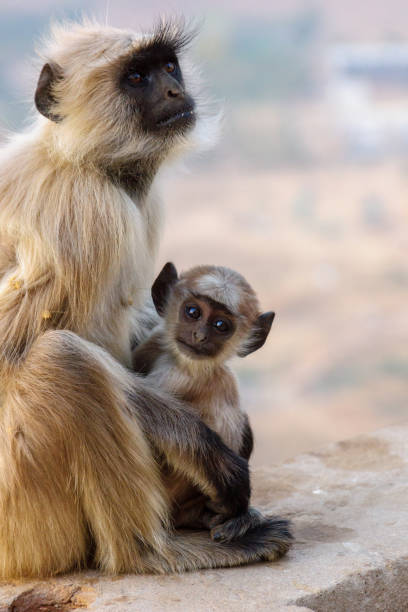 Curious baby ape watching In Pushkar, India, a baby ape is looking into the camera. langur stock pictures, royalty-free photos & images