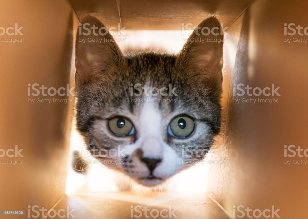 Curious Baby Cat sticking her Head into a Cardbox royalty-free stock photo