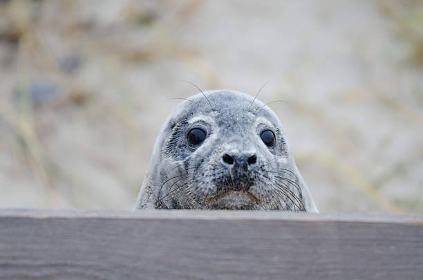Neugierig Baby gemeinsamen Seal – Foto