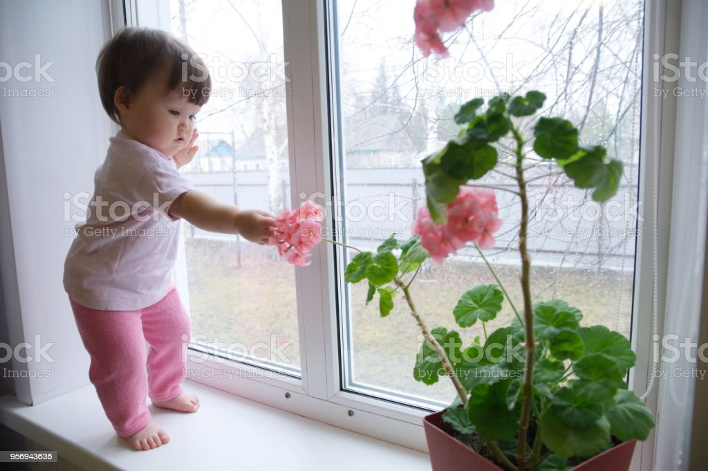 curious baby girl full body in pink clothes one year old on the window with geranium flower. inquisitive child at home at rainy day stock photo